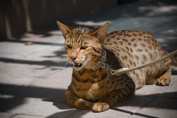 This Savannah Cat was advertised as a rare Ashera cat