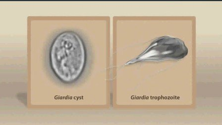 Both stages of the giardia parasite