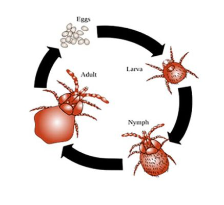 Life cycle of Ear Mites