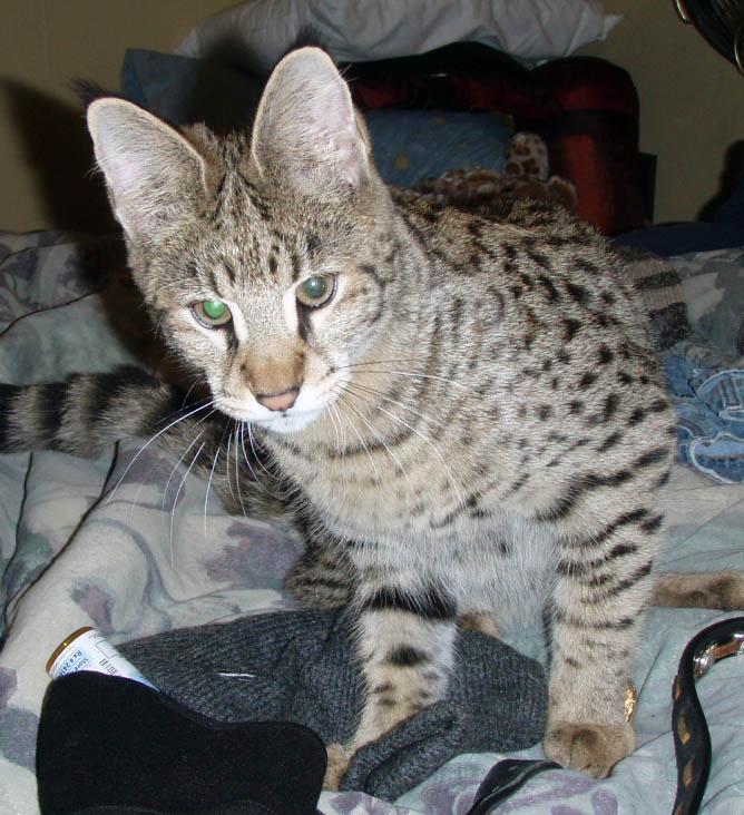 Feline Leukemia Virus, Once Deadly For Cats. Now A Vaccine