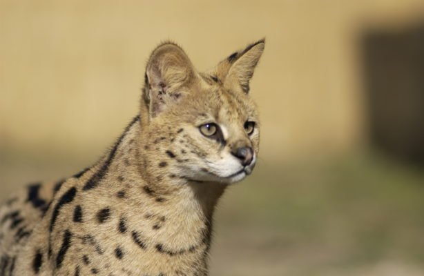 Serval Cat to compare to Savannah Cat