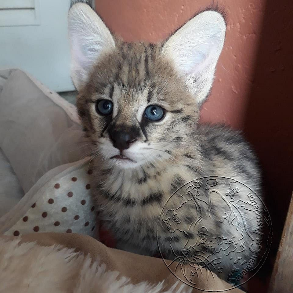 Savannah Cat Legal Ownership is important to keep your cat safe