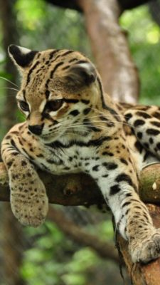 Asian Leopard cat to compare to Savannah Cat