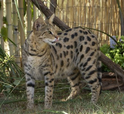 Our concern for honesty and integrity for Savannah Cat Breeders