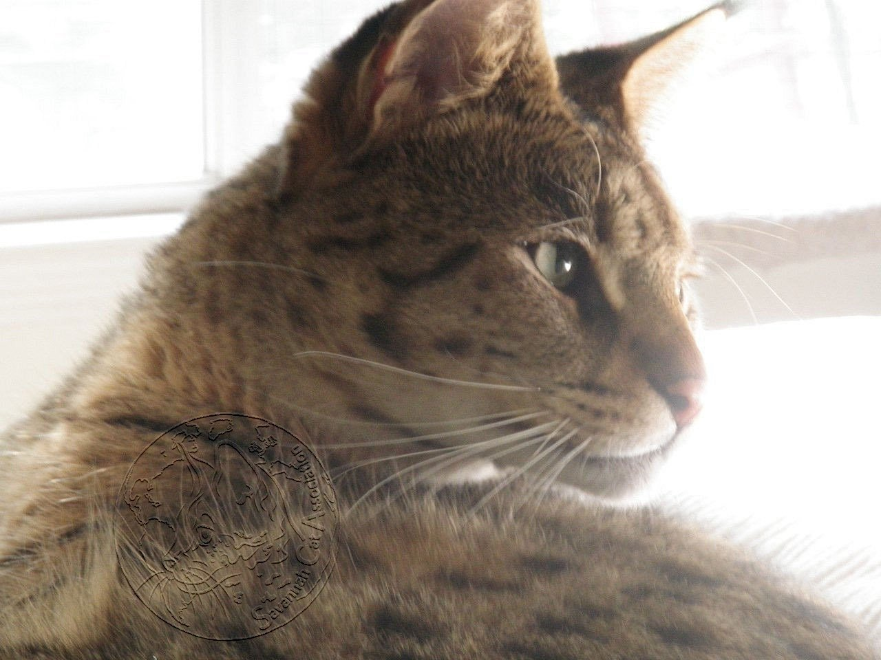 Many people ask why are Savannah Cats Expensive