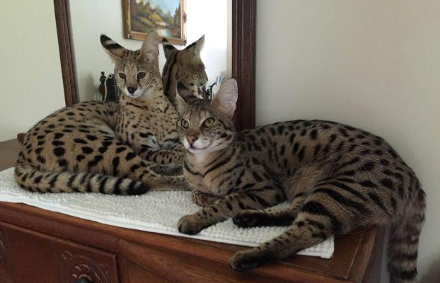 Savannah Cat Size comparison to serval.