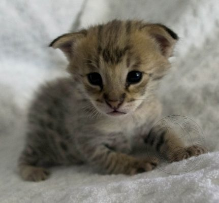 This is a Savannah Kitten. We call them kittens, not cubs