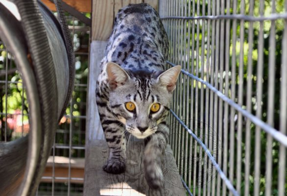 Savannah Cat Association chose to educate to raise the standard of breeders.