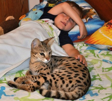 All generations of Savannah cats and children happily share a household