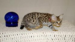 Welcome to our Savannah Cat site.