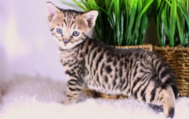 Savannah cat poisons article
