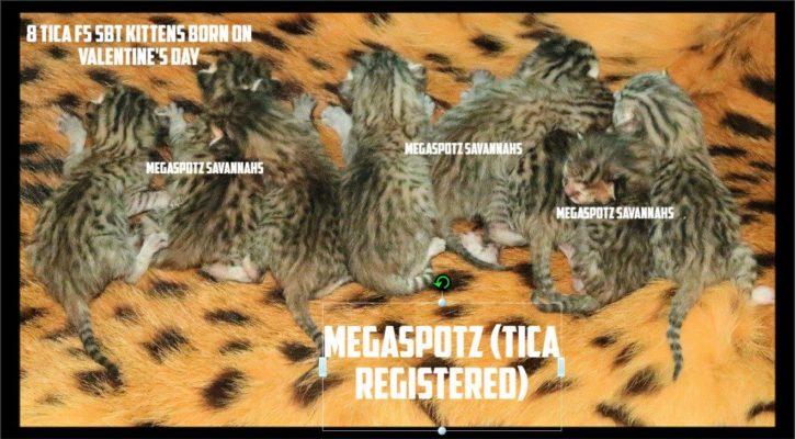 Savannah kittens born on Valentine's day