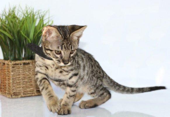 Savannah Cat Association member pledge