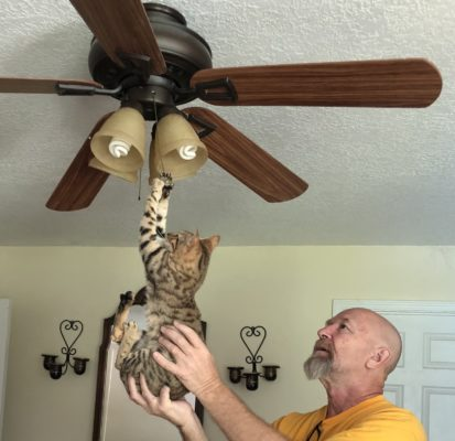 For Savannah cats, gravity is optional.